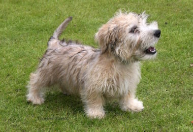 Glen of Imaal Terrier,Wicklow Terrier,Gleann Uí Mháil,,Gleann Ó Máil,turnspit dogs