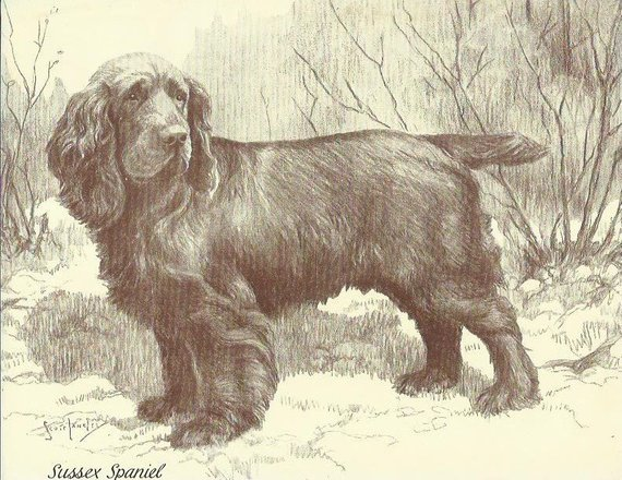 Chow Chow,Sussex Spaniel,standard,frowning,expression