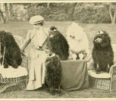 Poodle,retriever,dog show,