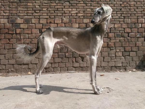 China Shaanxi Xigou, Xian Hound,sighthound,