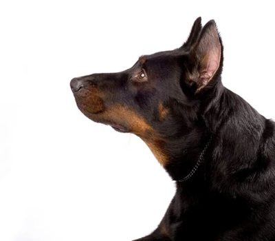 Beauceron,nickname,Colette,Abbe Rozier,Country Gentleman
