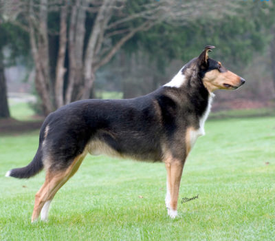 Not Just Another Pretty Face,Collie,