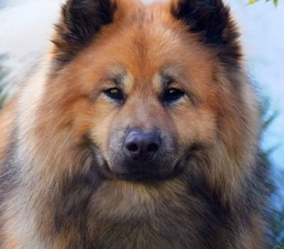 Not Just Another Pretty Face,Eurasier