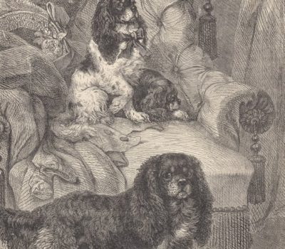 Dr. Caius,Boston Terrier,taxonomic, hierarchy,comforter dog,