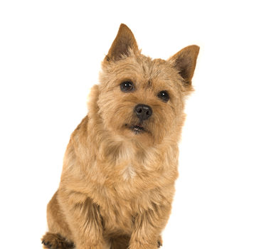 Norfolk Terrier,Norwich Terrier,Carl Spitz,Wizard of Oz,Margaret Hamilton,Cairn Terrier,Terry,