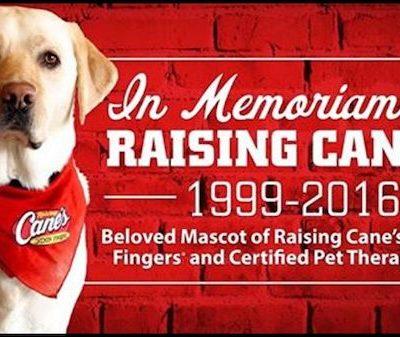Labrador Retriever,Raising Cane,restaurant,therapy dog