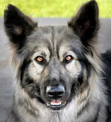 Alsatian,German Shepherd Dog,Dire Wolf Project,Lois Schwartz