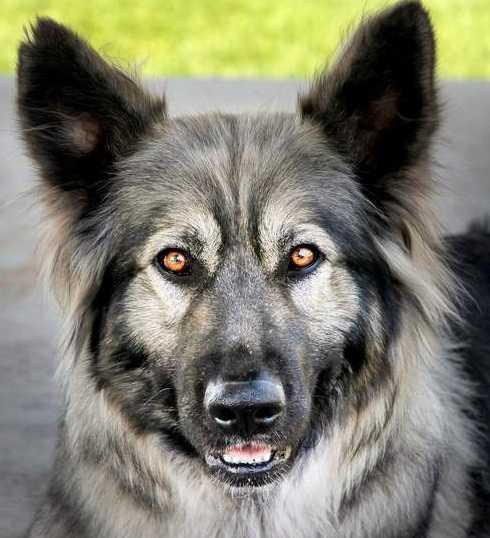 Alsatian,German Shepherd Dog,Dire Wolf Project,Lois Schwartz