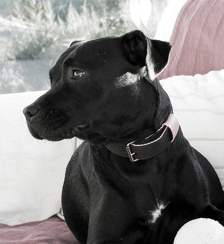 Patterdale Terrier,spanning,