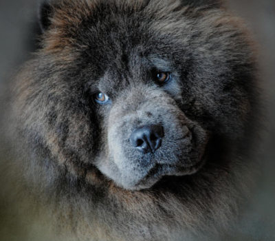 Chow Chow,stilted,gait,movement,structure