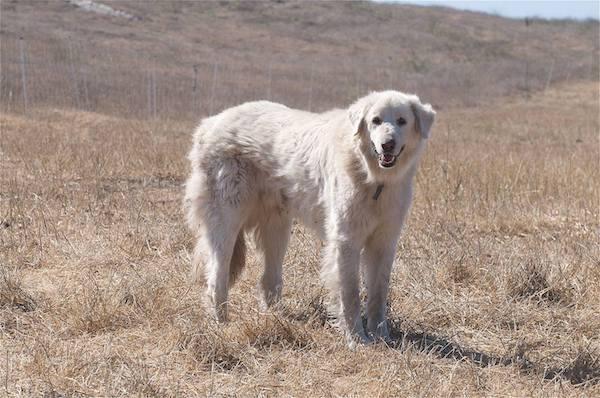 Akbash Dog, LGD, livestock guardian dog