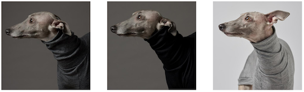 Whippet,Greyhound,coat