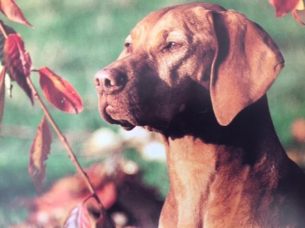 Vizsla,Vicki Mathison,behavior