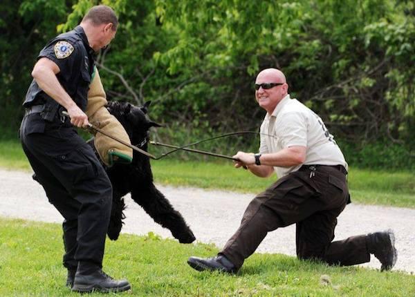 Giant Schnauzer,police dog,Schutzhund