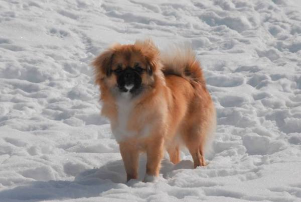 Damchi,Bhutan,Gross National Happiness, Tibetan Spaniel