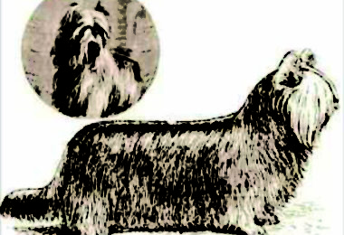 Clydesale Terrier,Glasgow Skye, Silk Coated Skye Terrier, Paisley Terrier, Yorkshire Terrier