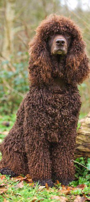 Irish Water Spaniel,Boatswain,Lord Byron,Newfoundland,Northern Water Spaniel,Shannon Spaniel