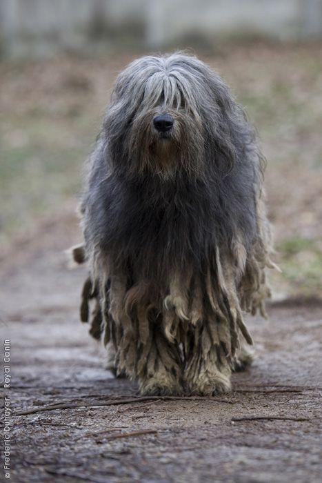 Bergamasco,hair,coat,goat hair