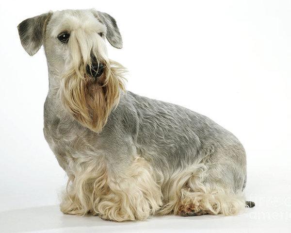 Cesky Terrier,color,genetics