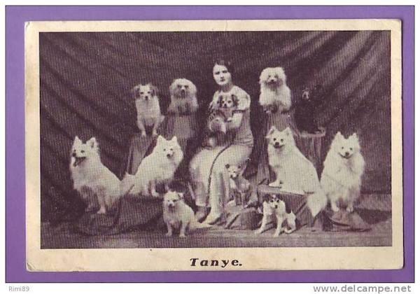 American Eskimo Dog,Mistbeller, Spitz, Eskimo Spitz, Mittel,circus,German Spitz
