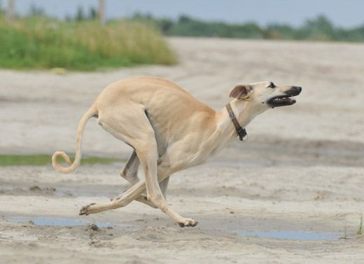 Sloughi, Arabian Greyhound,oroccan Greyhound, Berber Greyhound, Maghrebi Greyhound, Arabian Sighthound, Maghrebi Sight Hound, Sloughi Moghrebi, Al Hor, Levrier Marocain.