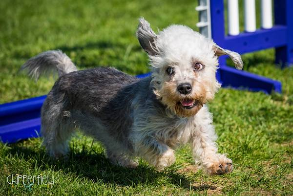 Dandie Dinmont Terrier,AKC National Championship, agility,vulnerable breed