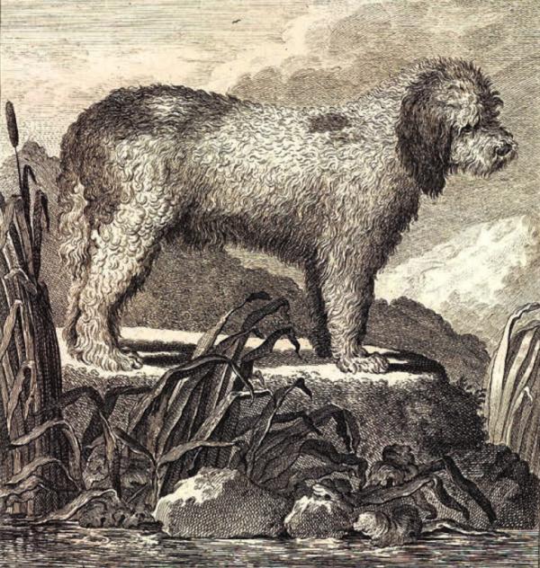 Barbet,Poodle, Briard,Portuguese Water Dog,American Water Spaniel,Jacques du Fouilloux