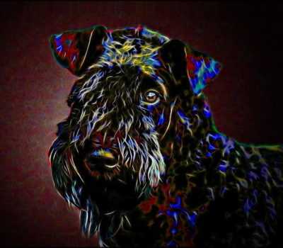 Convict 224,history, Kerry Blue Terrier,Michael Collins,Irish Blue Terrier,Brocaire Gorm