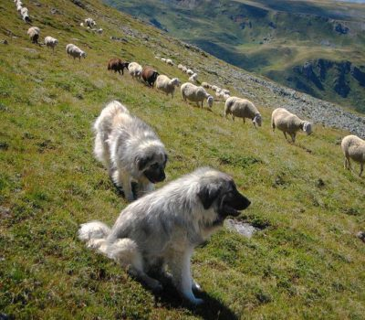 Sarplaninac,YUGOSLAVIAN SHEPHERD DOG, Livestock Guardian Dog, Шарпланинец; Шарпланинац,