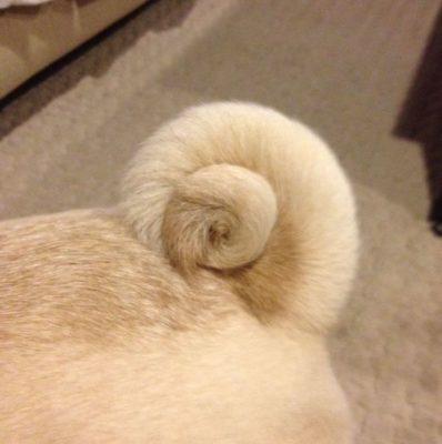 Pug, tail,