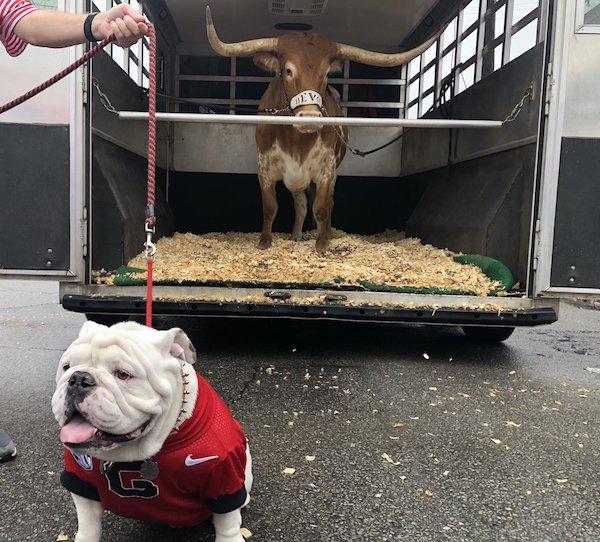 Bulldog,mas cot,Beva, Uga,University of Texas, University of Georgia