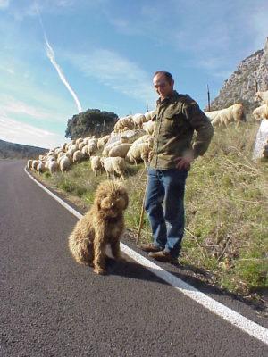 Spanish Water Dog,Perro de Agua Español, Turco Andaluz, Perro Turco,Andalucian Turk,Santiago Montesinos,Antonio Garcia Perez,Trashumancia,transhumance