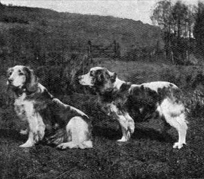 Welsh Springer Spaniel,Corrin,