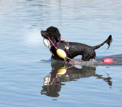 Portuguese Water Dog,Not Just a Pretty Face,Gilligan,