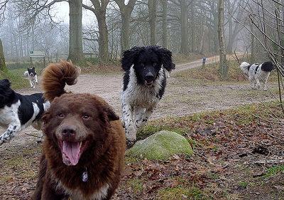 Frisian Water Dog,Wetterhoun,J.Bos, T.van Dijk, B. de Graaf,W.Hoeksema.