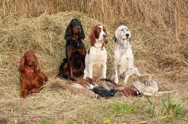 English Setter,Irish Setter,Irish Red and White Setter, Gordon Setter