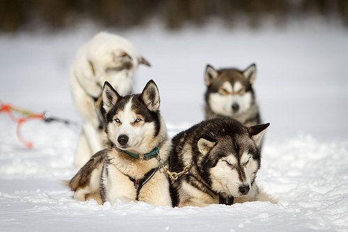 Siberian Husky,Iditarod,All Alaska Sweepstakes,William Goosak,Leonhard Seppala