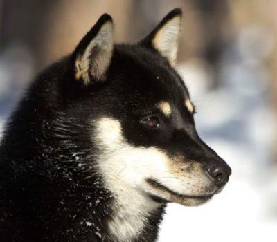 Ainu Dog,Ainu-Ken,Hokkaido Inu,Seta,北海道犬