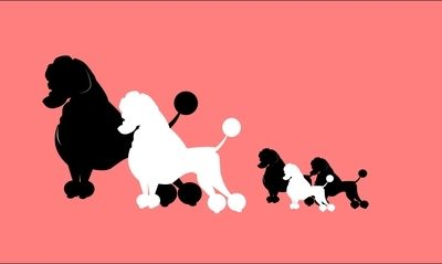 Poodle,Royal Poodle,teacup, marketing ploy, size, height
