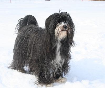 Puli,Tibetan Terrier,hair