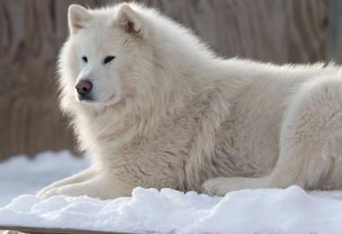 Alaskan Malamute,color,genetics
