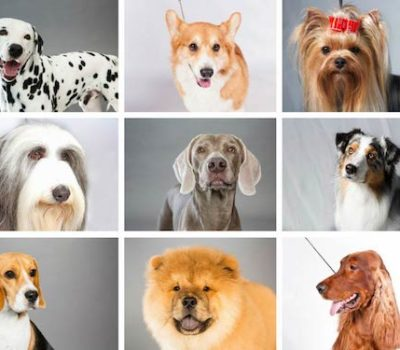 breeds, AKC, years, recognition