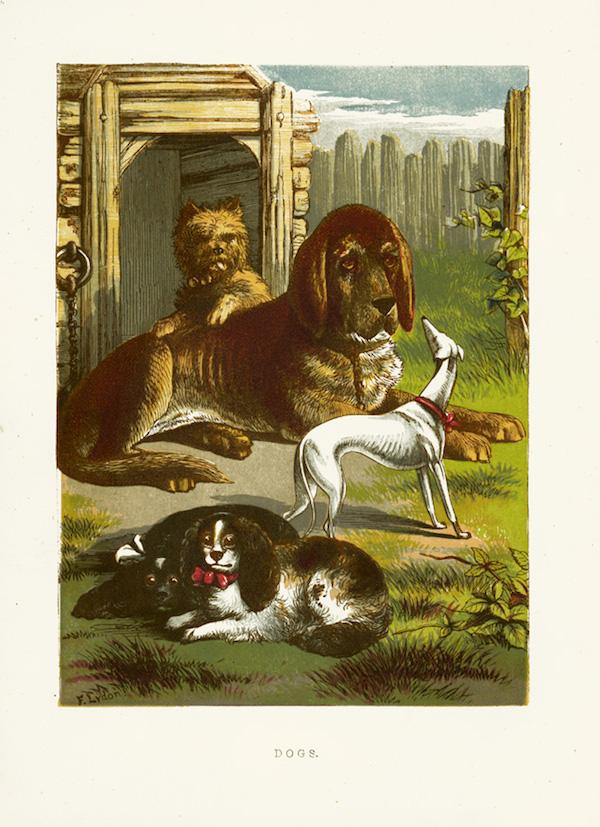 Italian Greyhound, Piccolo Levriero Italiano,Italian Sighthound,John George Wood