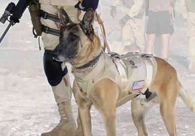 state dog, New York, military dog, law enforcement dog,working dog,Cairo,Belgian Malinois,Seal Team Six