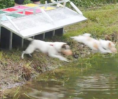 Russell Terrier, Jack Russell Terrier, muskrat races