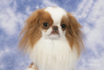 Japanese Chin,oriental expression,eyes