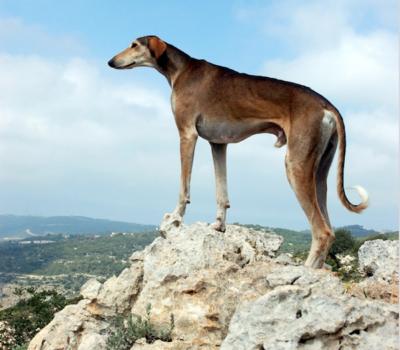 sloughi,wedge,head,sighthound
