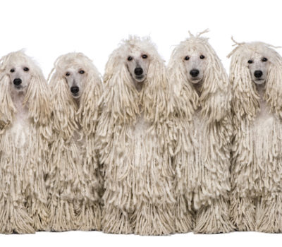 Poodle, Corded Poodle, Achilles, hair, grooming