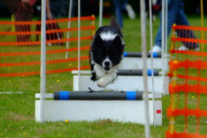 Tag Flyball, Scent Hurdle Racing