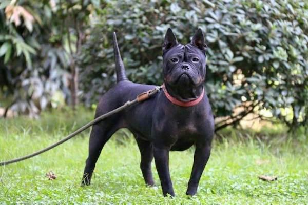 Chinese Chongqing Dog,Bamboo dog,